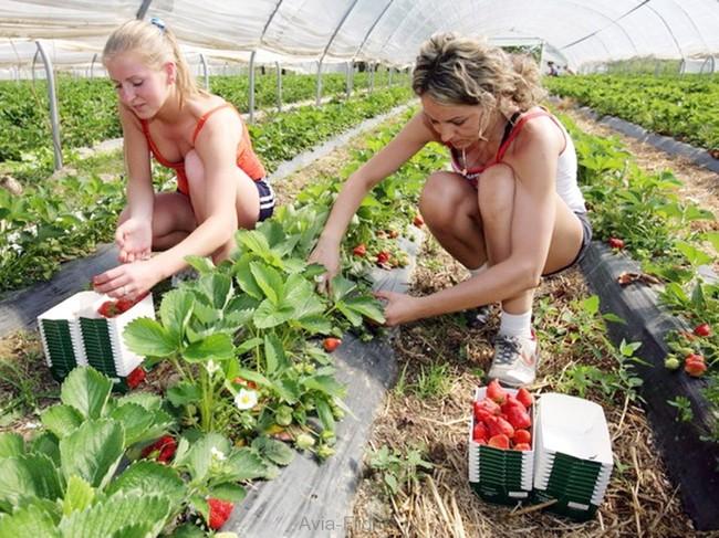 Своевременный сбор созревшего урожая