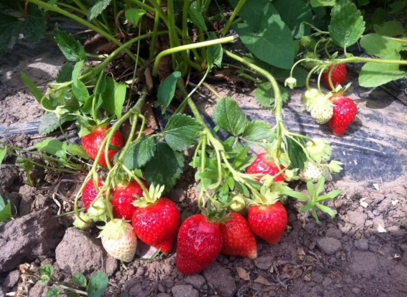 Раннее созревание плодов
