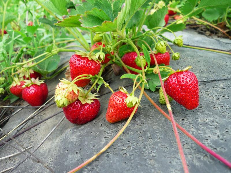 Чистота ягод
