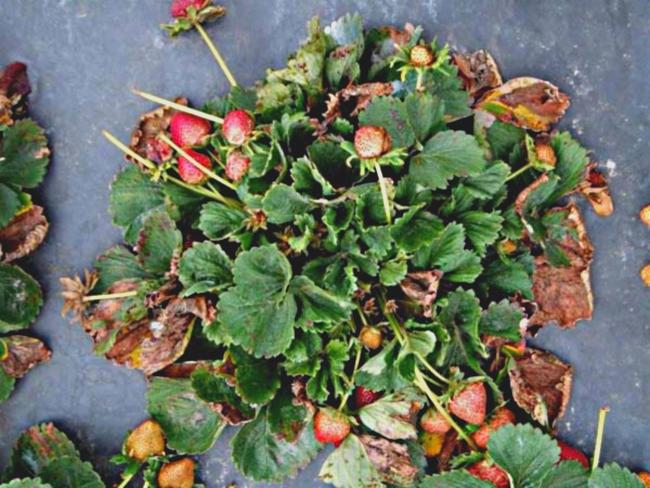 Своевременная очистка грядок от поврежденных и погибших растений