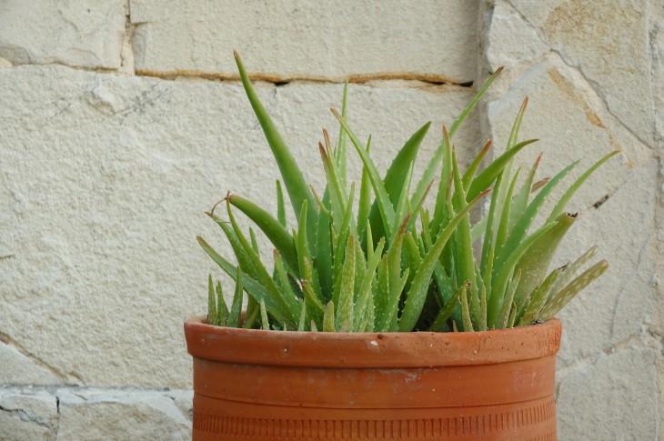 Прямые солнечные лучи губительны для растения