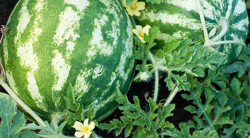Особенности выращивания арбузов в открытом грунте