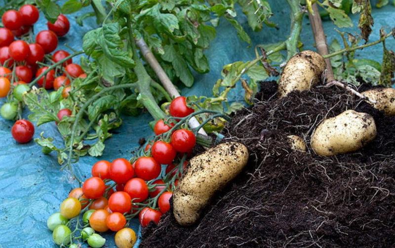 Высаживать томаты категорически запрещено возле картошки
