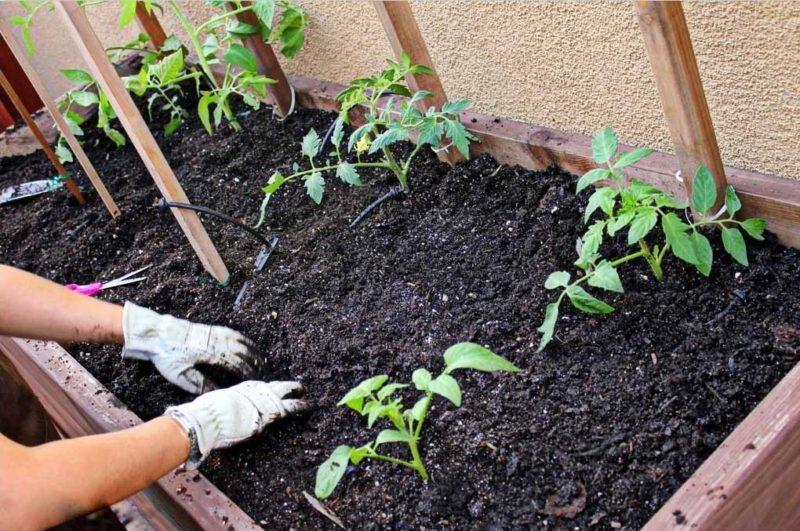 Регулярно взрыхляйте почву и не перебарщивайте с азотными удобрениями и свежим навозом
