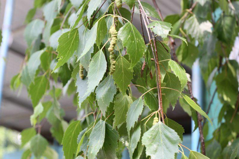 Козочки очень любят кустарники и ветки деревьев, особенно молоденькие березы.