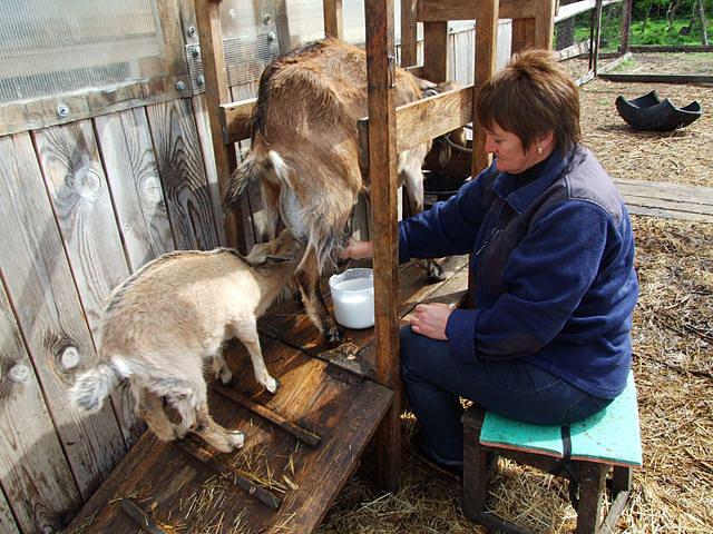 Начинать доить козу можно лишь после первого окота