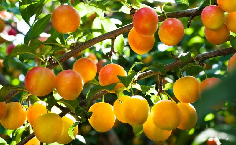 Плоды теряют вкус