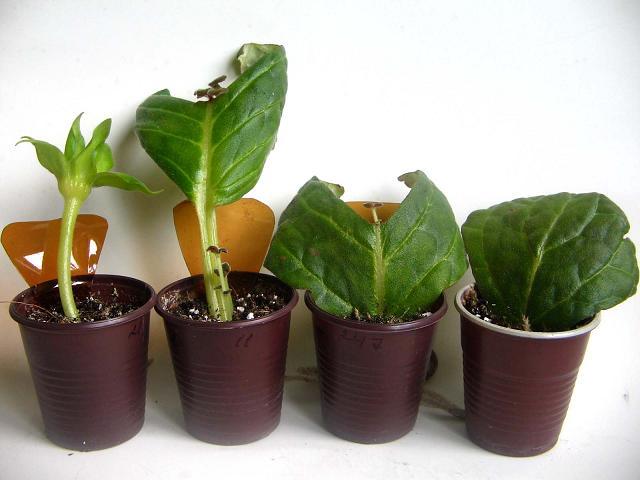 Размножение цветка листом