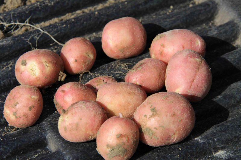 Рекордсмен по урожайности среди ранней картошки