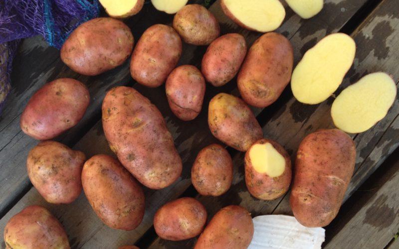 Рекордсмен по урожайности среди ранней картошки фото