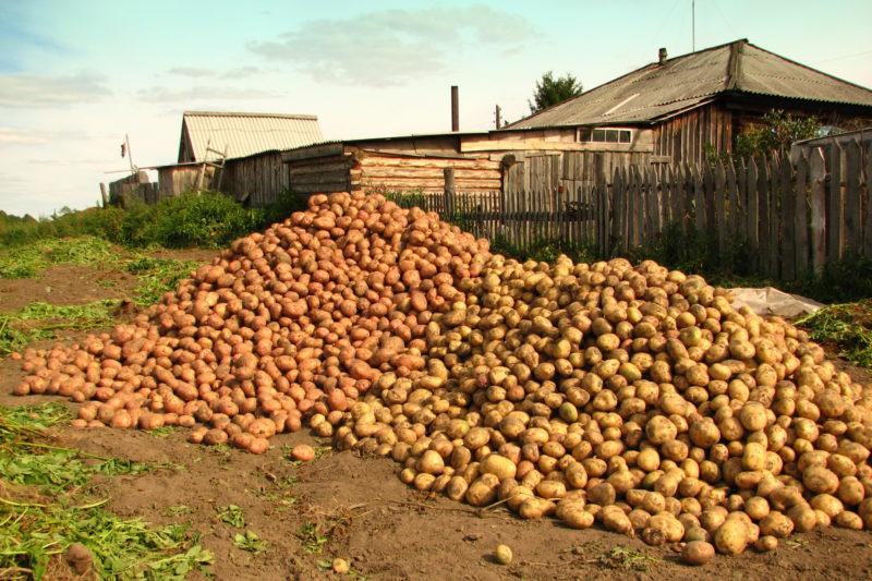 Среднеранние сорта картофеля-находка для вашего стола.