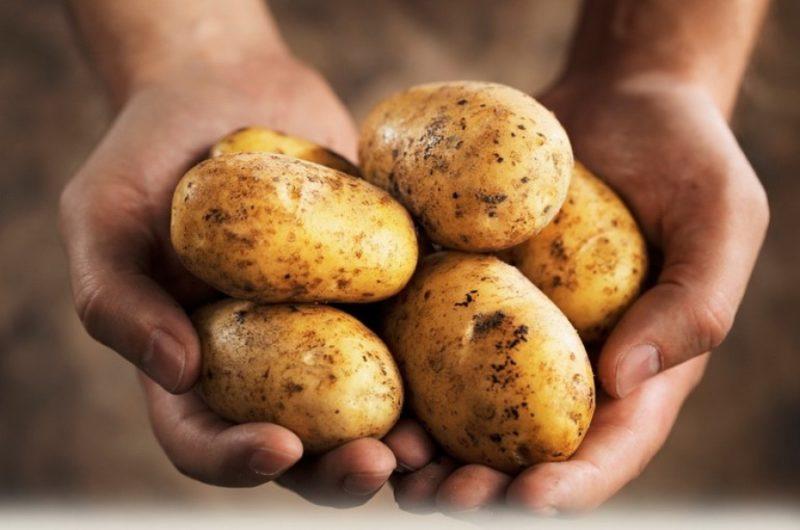 Тулеевский картофель-гибрид с рекордными урожаями фото