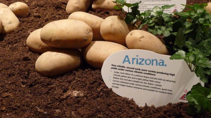Среднеранний сорт картофеля