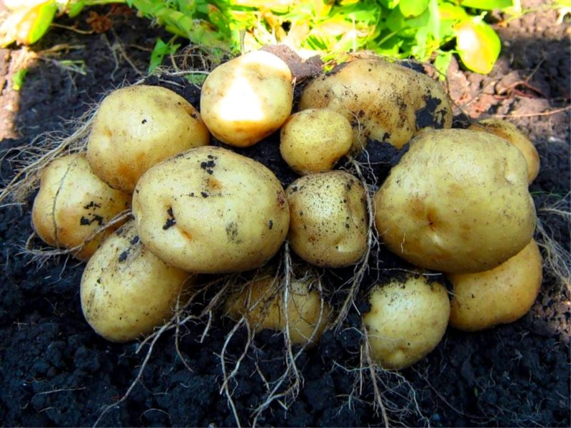 Выбираем поздний картофель