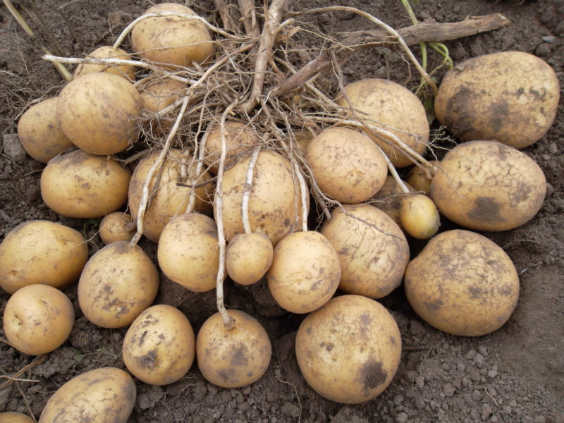 Среднепоздний сорт картофеля