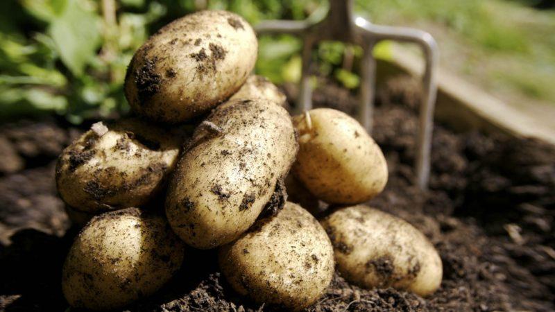 Плоды отличаются большими размерами, но каждый куст даёт относительно небольшой урожай: всего 5-6 штук.