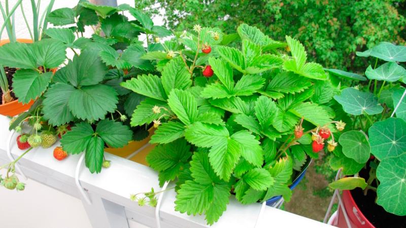 Способ 3 — использование готовых автоматизированные системы для выращивания клубники в домашних условиях