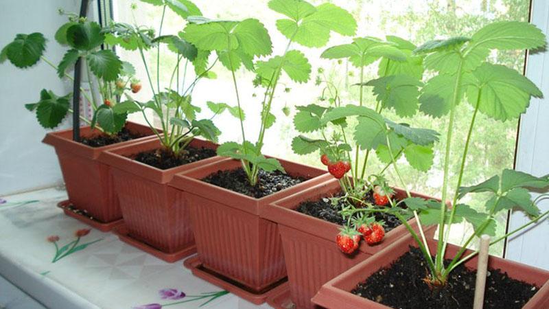 Возможность выращивать клубнику на балконе, стене, подоконнике, гараже