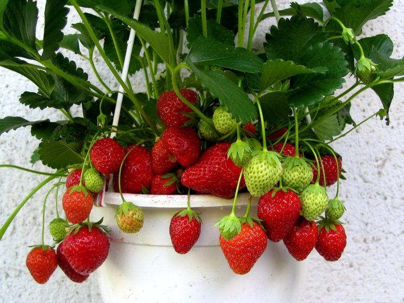 Преимущества и особенности выращивания клубники дома