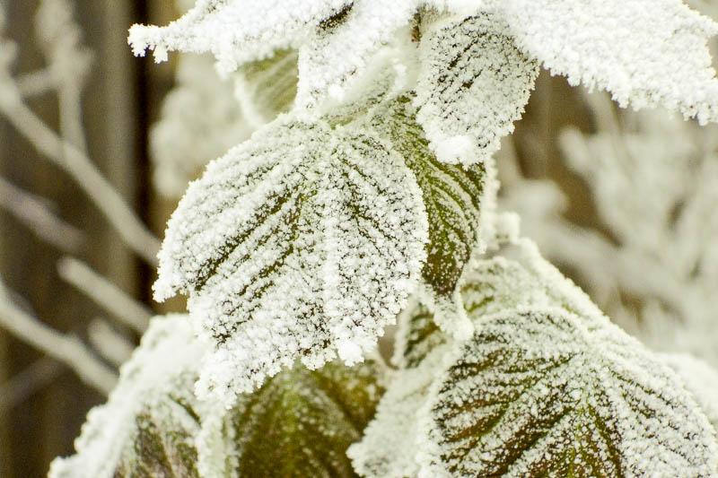 Надо ли обрезать малину осенью в регионах с малоснежными зимами?