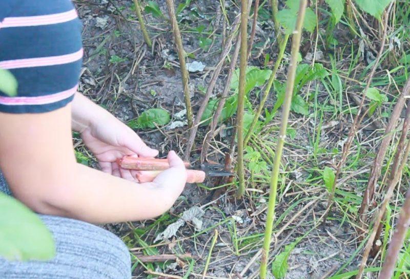 Обрезка после сбора урожая