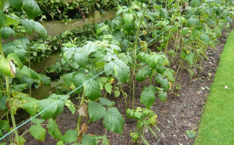 Мульчирование — как подготовка малины к зиме