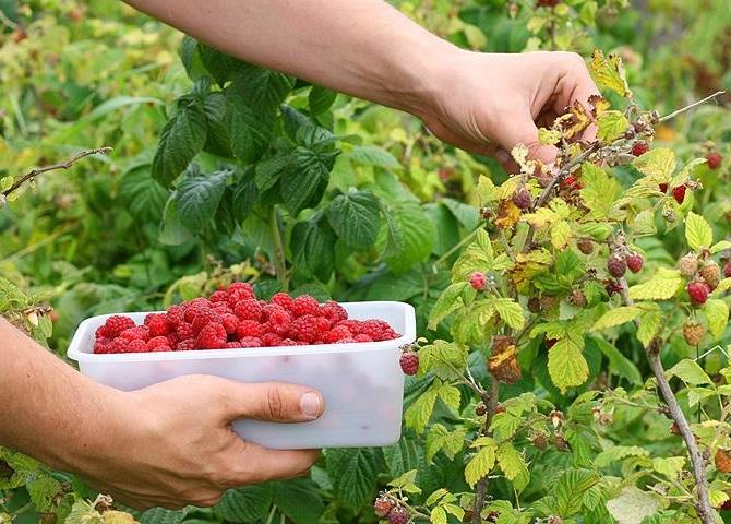 Плотная мякоть ягод, благодаря чему они легко собираются с куста