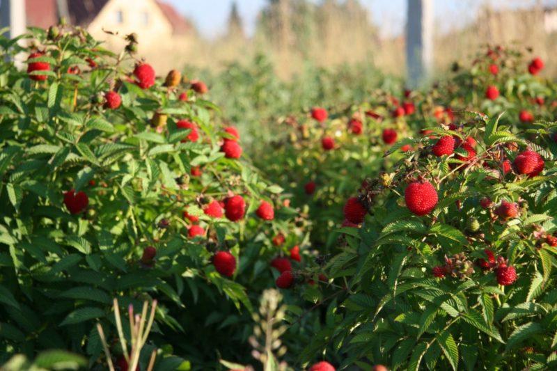 Относительная простота ухода и выращивания