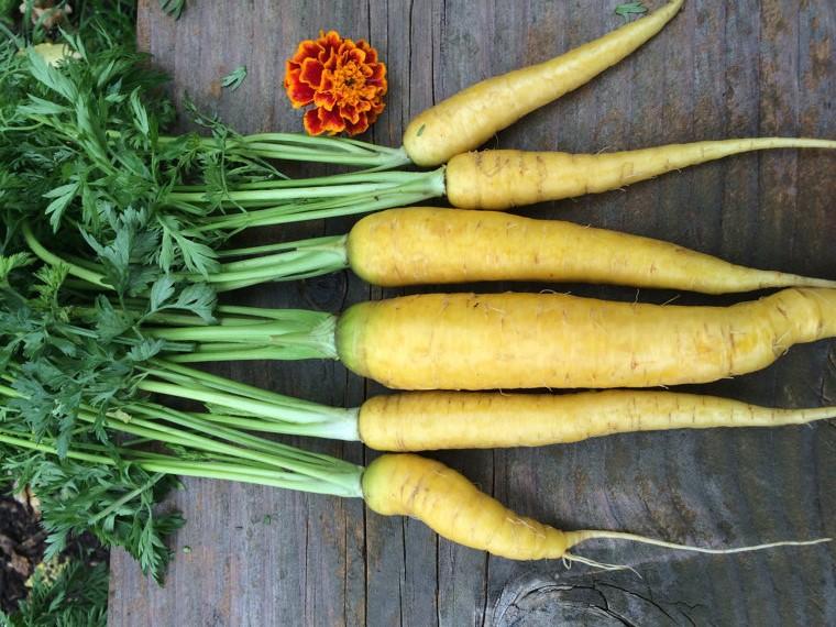 Позднеспелые сорта моркови фото
