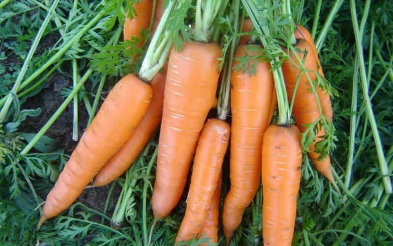 Позднеспелые сорта моркови