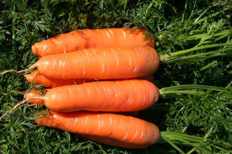 На огородах жителей средней полосы чаще всего встречается морковь Нантская или её распространённый гибрид нантская-4.