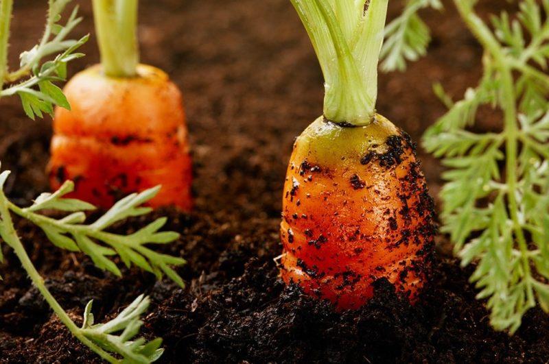 Лучшие сорта ранней моркови фото