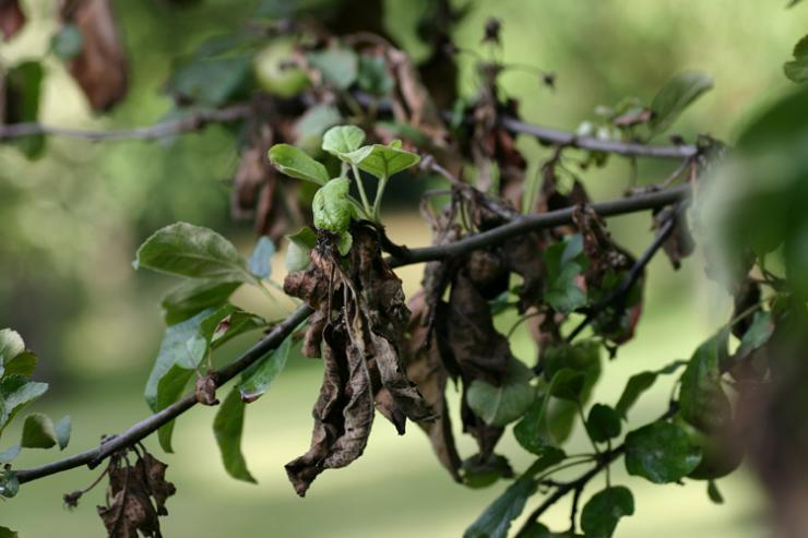 Обрезка молодых запущенных деревьев