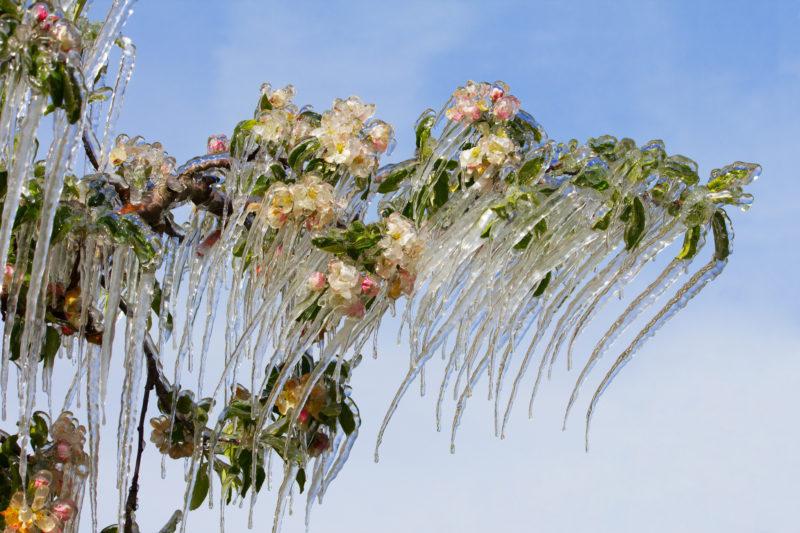 Стоит ли делать обрезку деревьям, пострадавшим от мороза