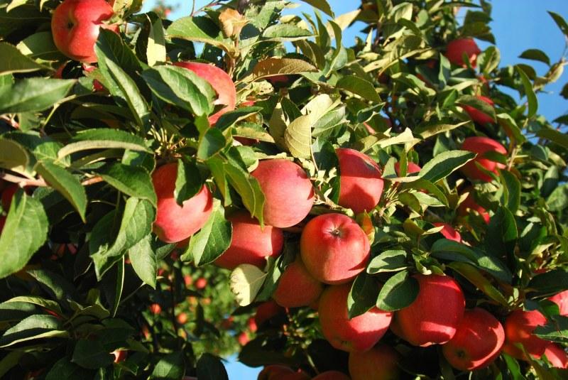 Как определить правильность техники обрезки яблони