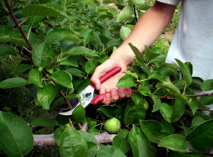 Соблюдать сроки обрезки яблонь.