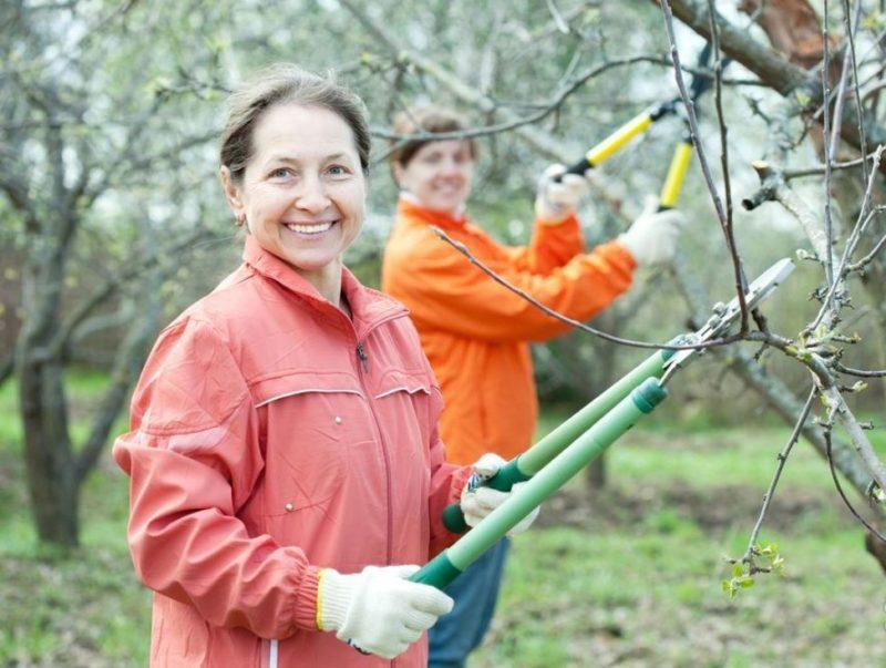 Прореживание кроны во избежание умельчения плодов, а также для создания комфортных условий для роста и развития побегов.