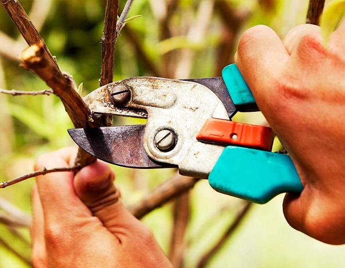 Предотвратить ослабление дерева и перехода им на периодическое плодоношение.