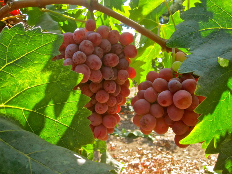 Увеличить скорость созревания ягод