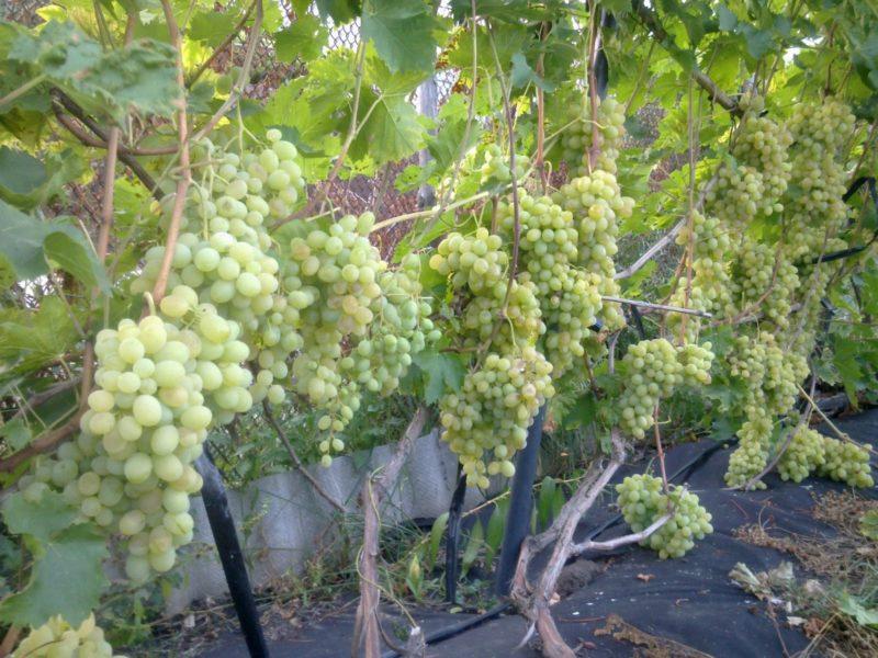 Виноградный куст состоит из стеблей, которые образуют его наземную часть.