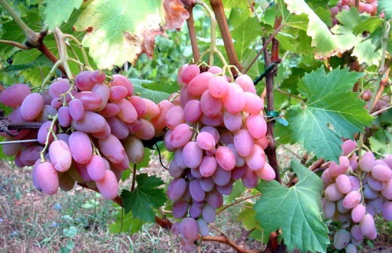 Штамб, головка, рукава и лозы старше одного года относятся к многолетней части виноградного куста.