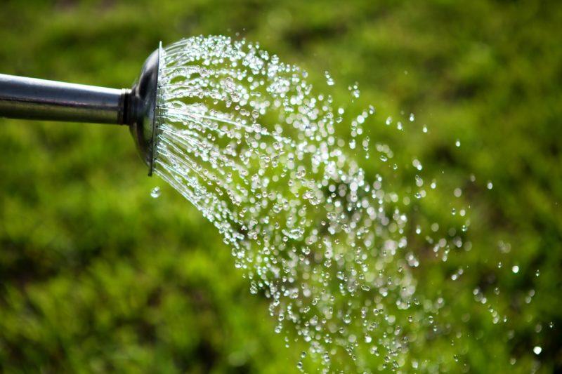 Пролить полученные грядки дистиллированной водой и высеять в них подготовленные семена