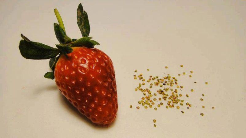 Готовый материал для посева можно пересыпать в банку и в ней хранить.