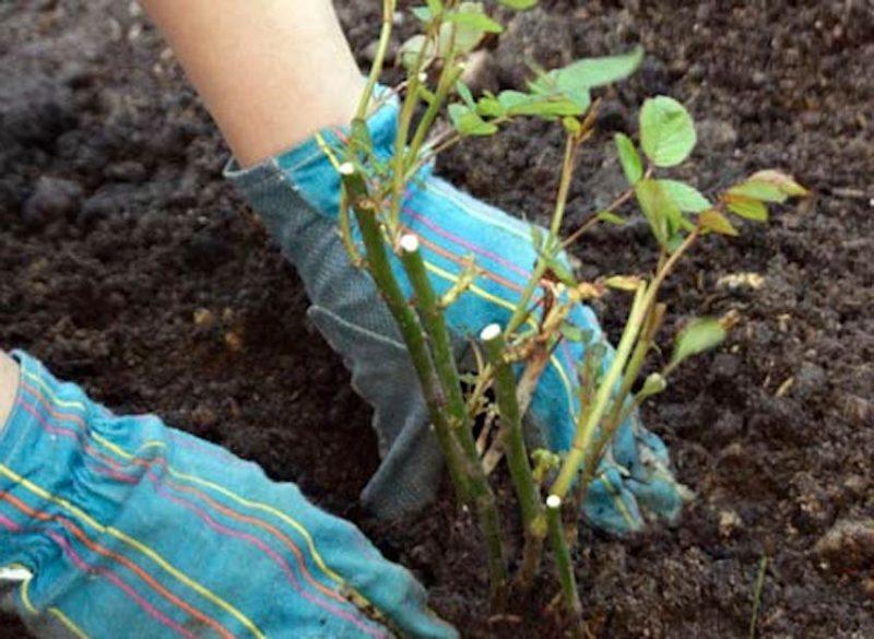 Пересадка роз из емкостей , в которых они были куплены, в открытый грунт должна проводиться в весенний период, так как растения теплолюбивы.
