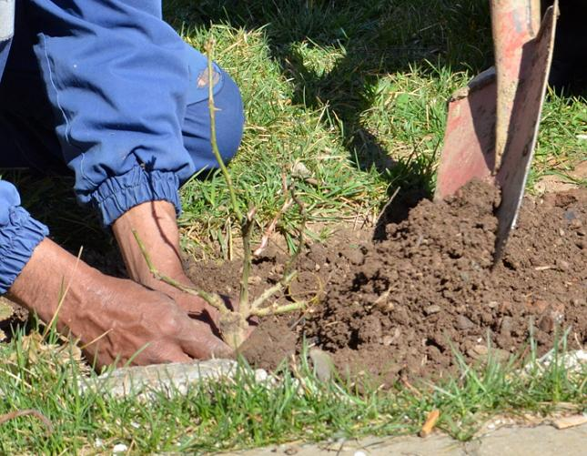 Перед помещением растения в грунт нужно просмотреть все корни и поврежденные обрезать до здоровых слоев.