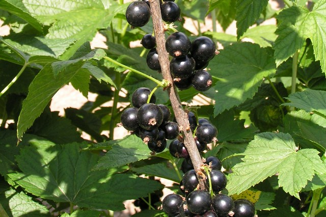 Как правильно посадить виноград