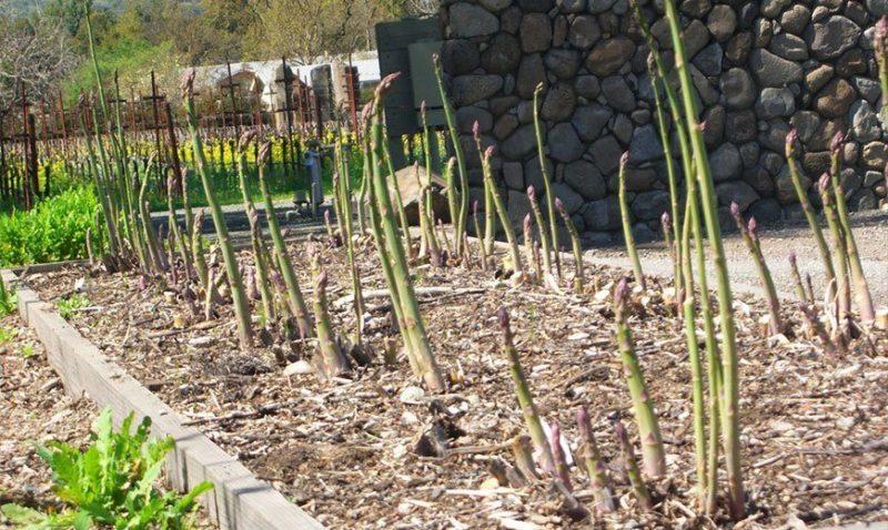 Выращивание спаржи в домашних условиях на огороде фото