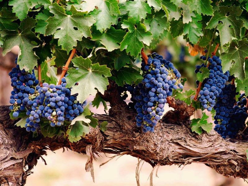Стебли легко могут сломаться под весом собственных плодов