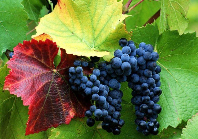 Качество ягод стремительно ухудшается, уменьшается их размер, вкус