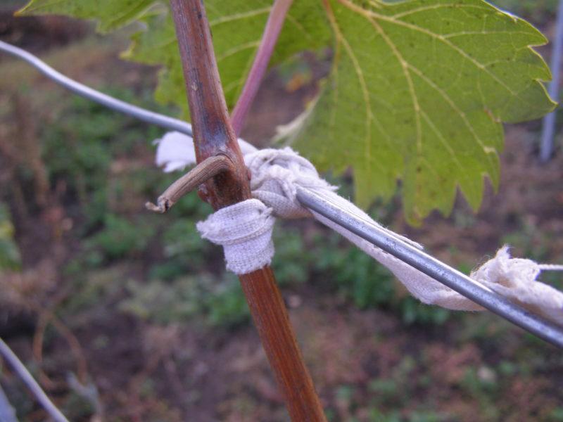 Как ухаживать за виноградом в весенний период